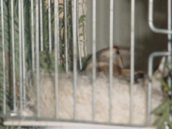 femelle pastel au  nid
