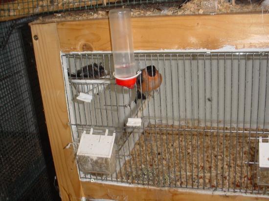 bouvreuils au nid