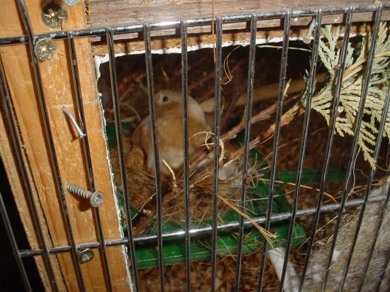 femelle brune pastel au nid