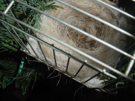 nid de chardonneret