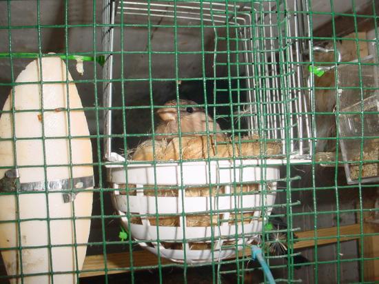 bouvreuils brun au nid