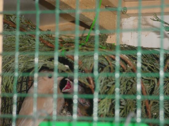 femelle brune pastel au nourrissage tjr preuve de mon élevage