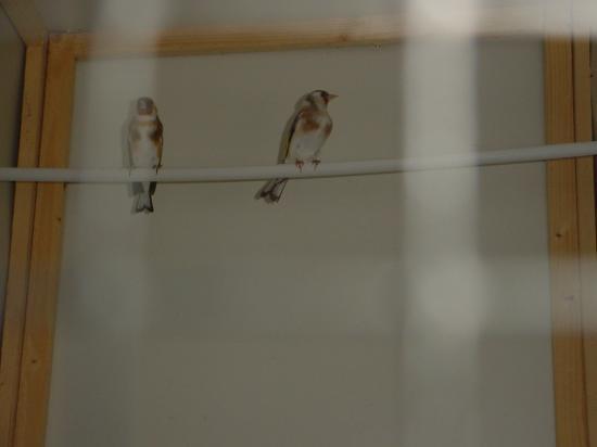 couple de chardonnerets pastel femelle x mal porteur
