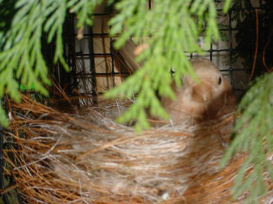 femelle brune - pastel au nid 2008