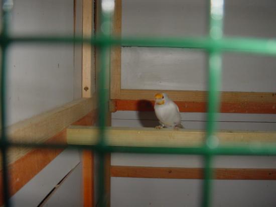 chardonnerets femelle satiné 2008