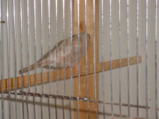 bouvreuils femelle brun-pastel